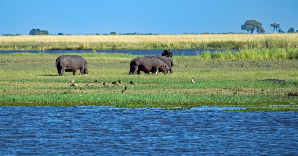 hippo, hippopotamus, animals