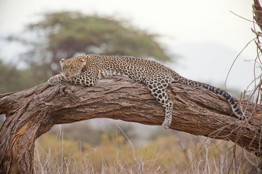leopard, safari, africa