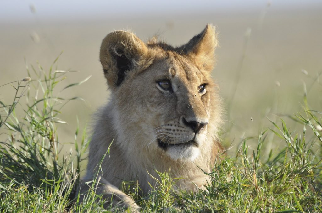 lion, tanzania, safari
