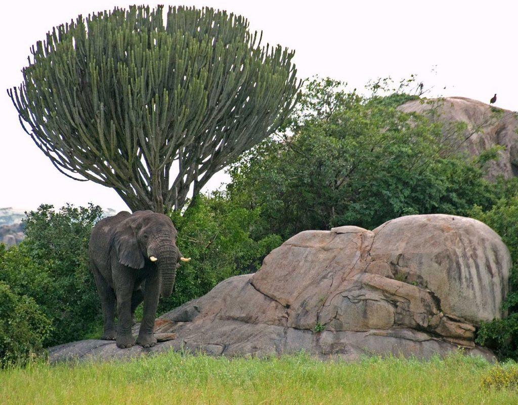 serengeti, elephant, candelabra