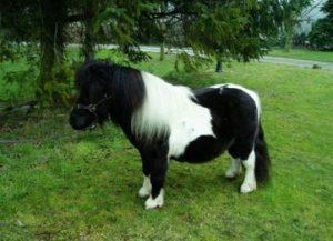 miniature shetland stallion