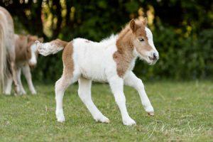 shetland pony news