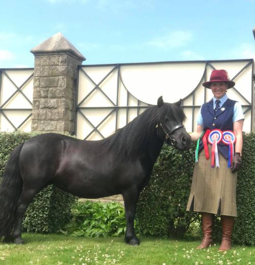 Hools shetland pony news