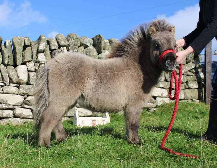 shetland pony lerwick sale