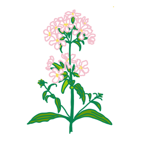 Drawing of Soapwort stem, leaves and white/pinkpetals