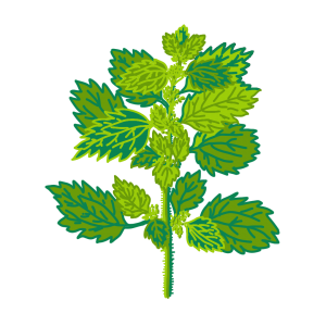 Drawing of Nettle plant with green leaves