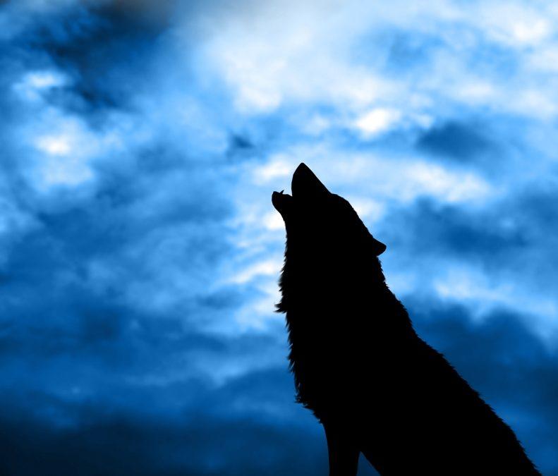 De satte ut 14 ulver i Yellowstone National Park og opplevde mirakler! Denne må du se!
