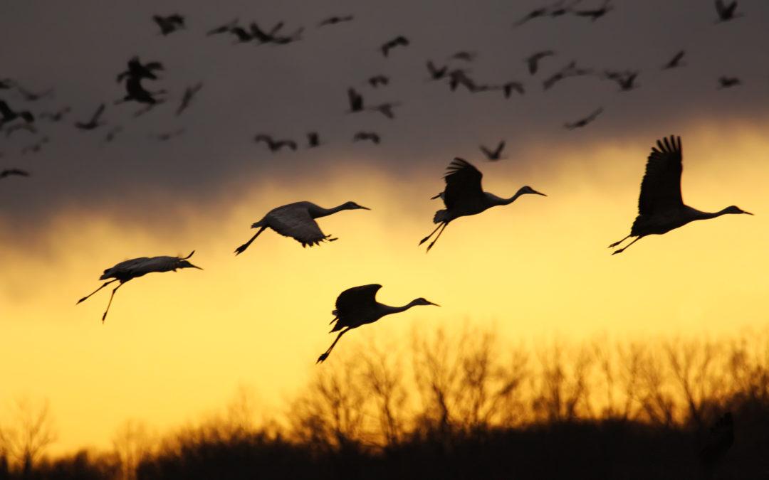 Trekkfugler mister retningssansen av menneskenes elektronikk
