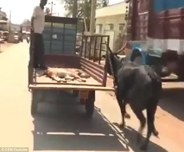 Bekymret mammaku løper etter bilen med kalven hennes