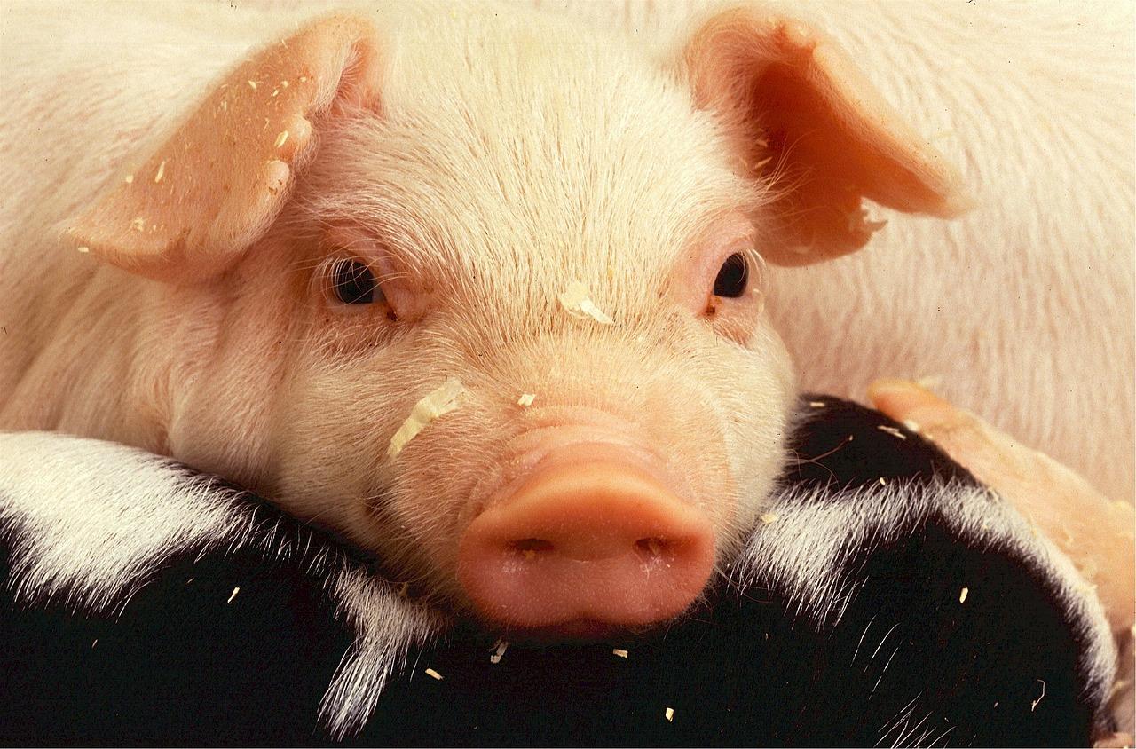 Dyr i landbruket – noen tanker fra en dyretolk