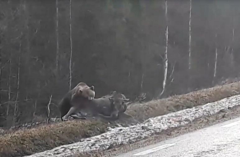 Bjørn angriper elg: – Grusomt