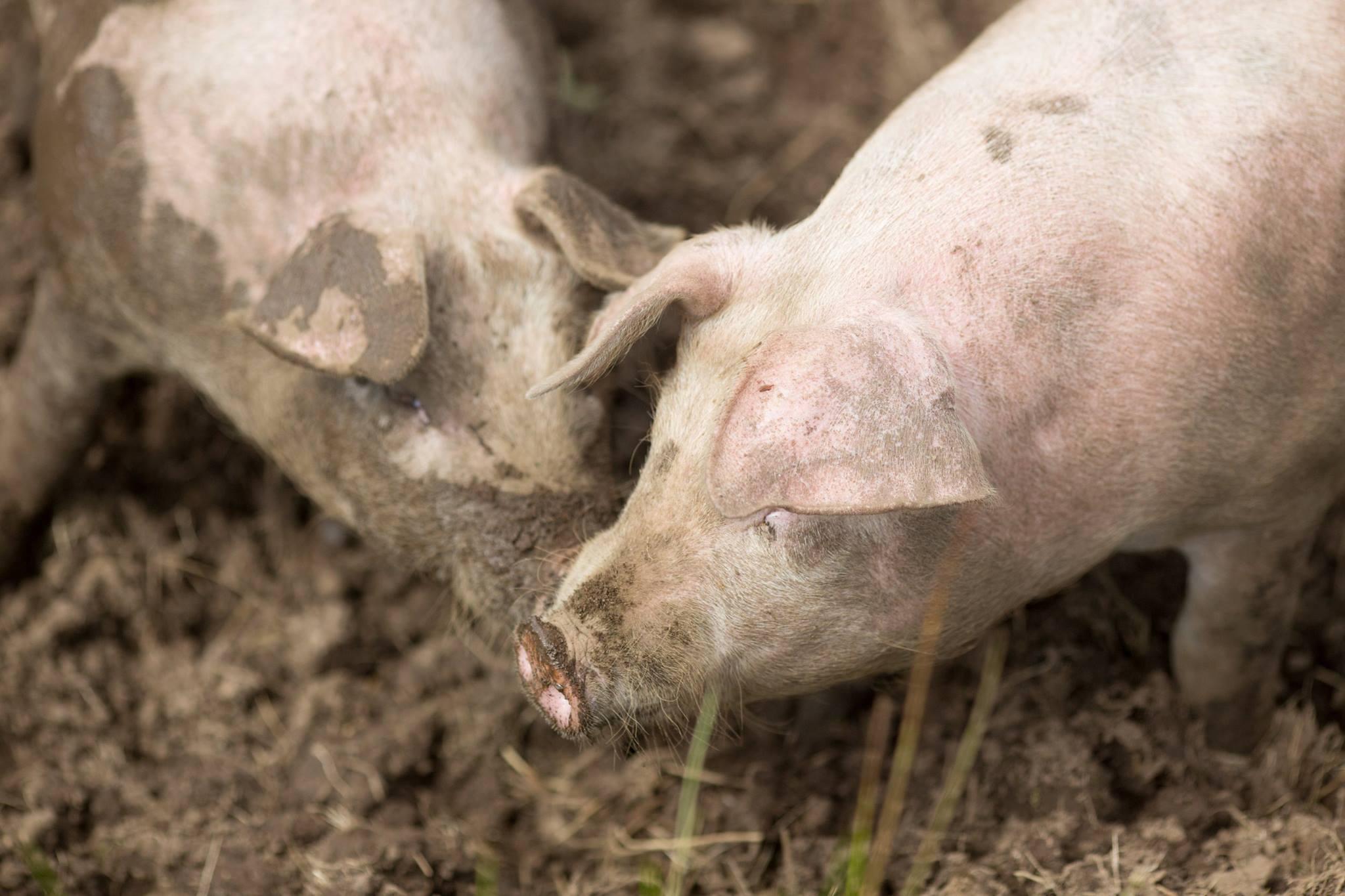 Skjærgårdgris – grisen i kamp mot lyssiv og knappsiv