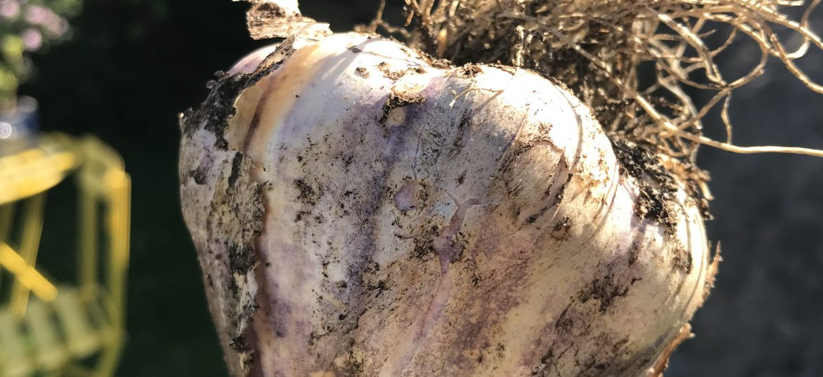 Høsting av hvitløk