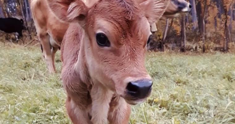 Vi har kjøpt kalv! – Men hvorfor ble Jersey det endelige valget?