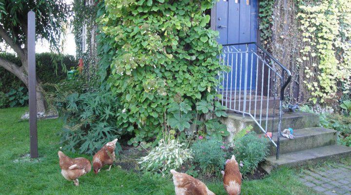 Hønsehold for ferskinger