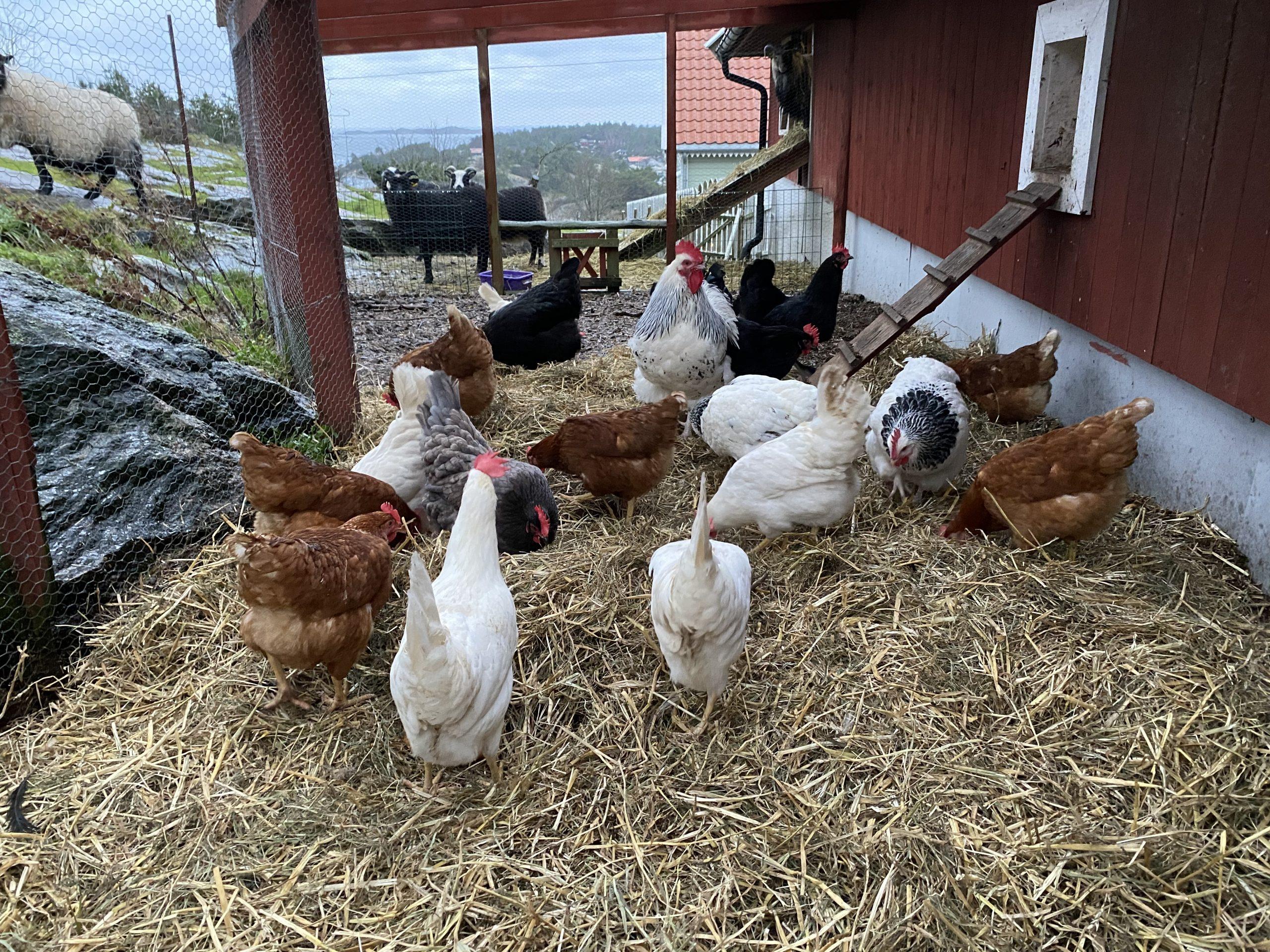Lykken er en hønsegård med deilig halm!