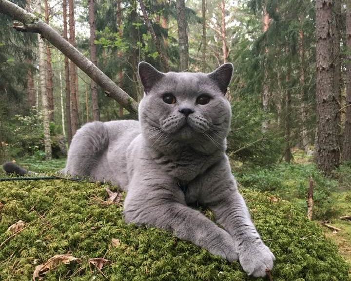 Årets Katt 2019