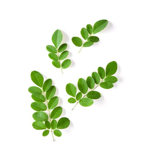Living Buddha Moringa Oleifera for highest nutrition