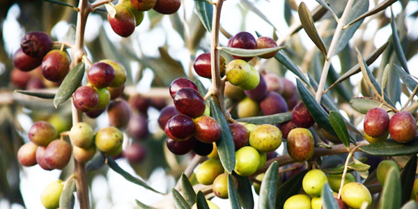 olive oil branches
