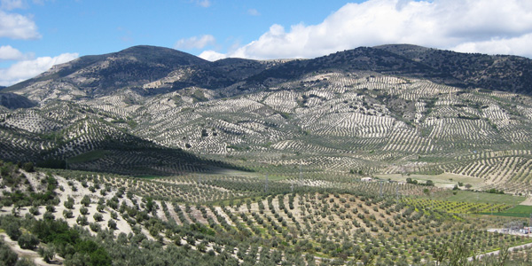 olive oil cultivation