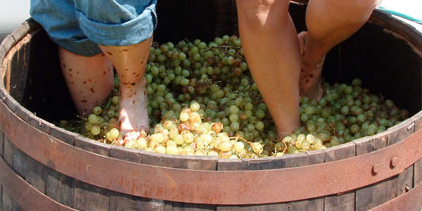 stepping on grapes Canari Islands