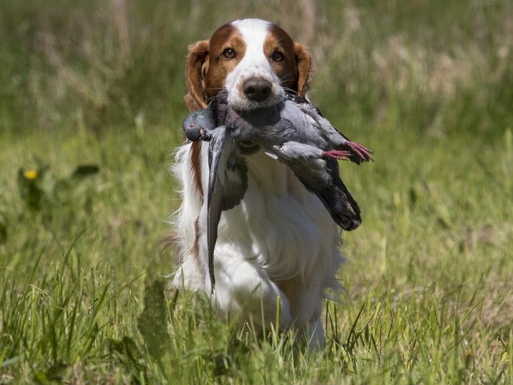 Welsh Spaniel med due