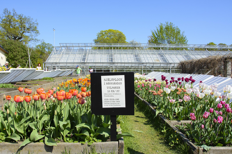 självplock tulpaner rosendals trädgård