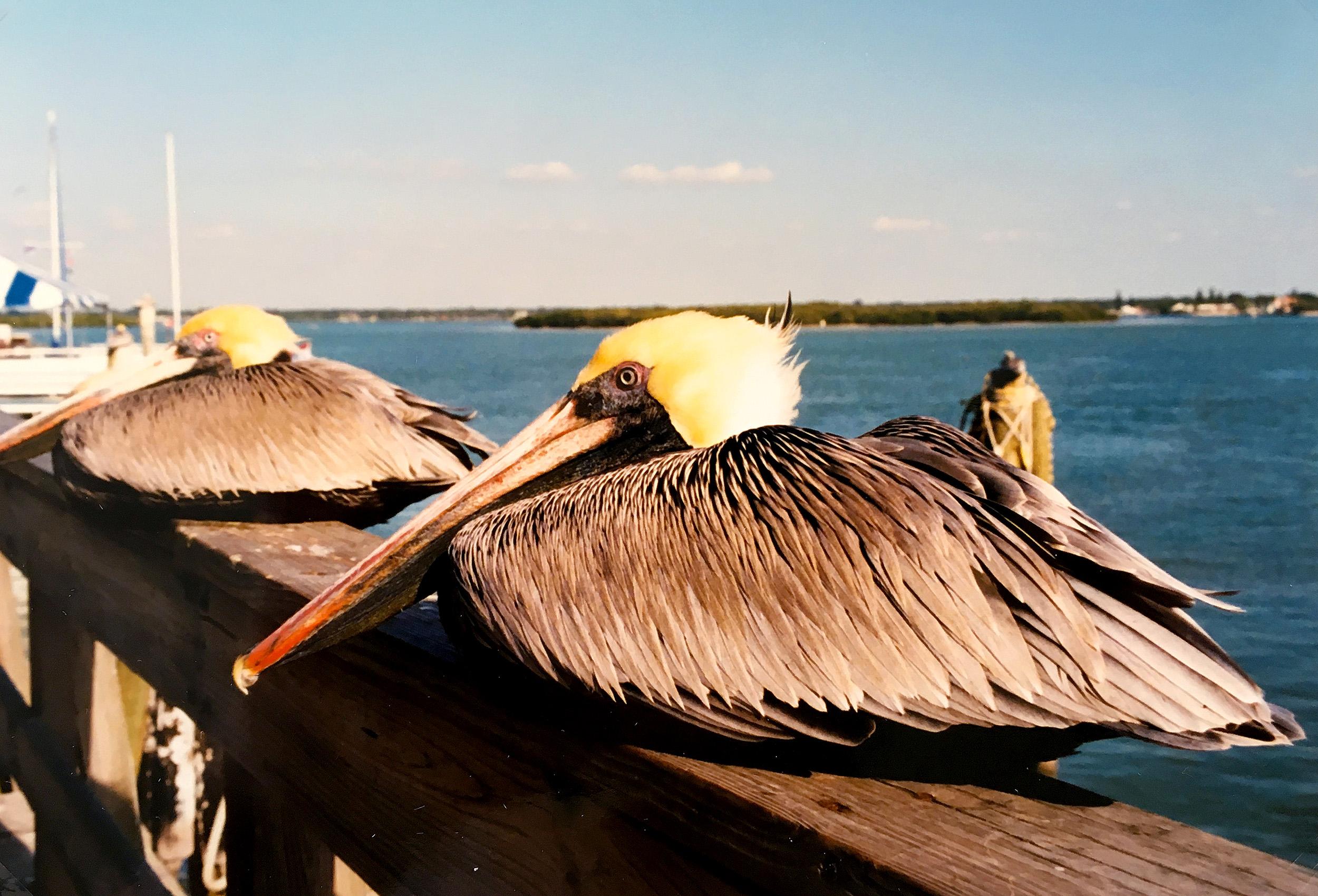Pelikaner i John's Pass, Florida.