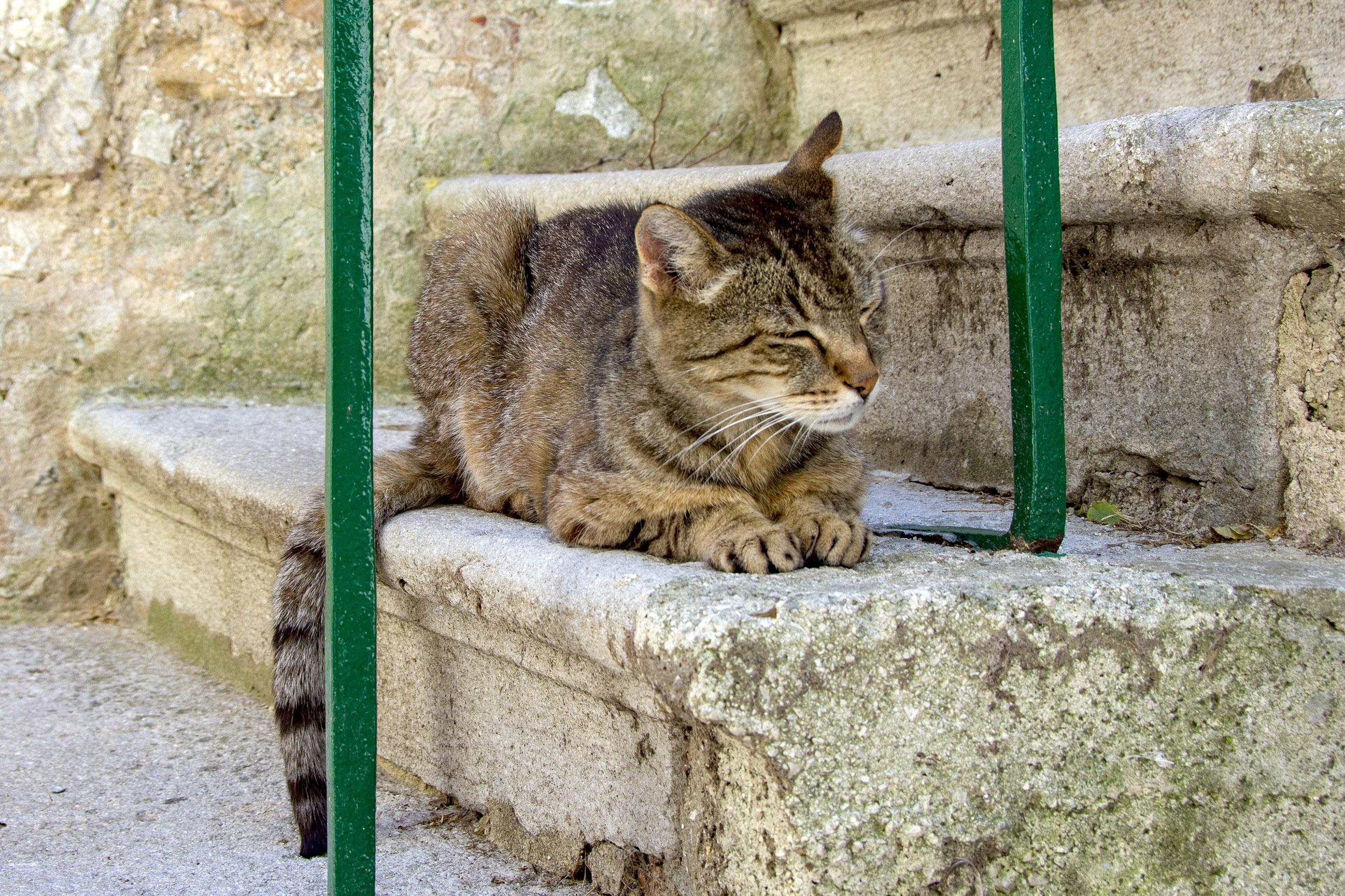 Internationella kattdagen, labin, kroatien