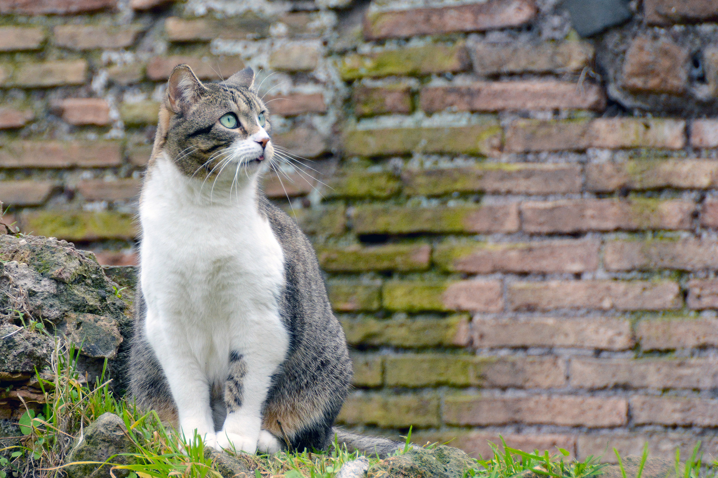 Katt på Torre Argentina Cat Sanctuary i Rom, Italien.