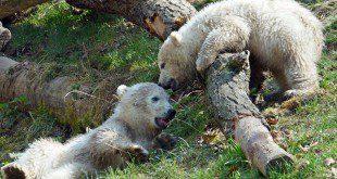 Eisbären Babys Tierpark Hellabrunn
