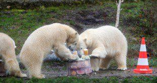 Tierpark Hellabrunn Eisbaeren 2. Geburtstag