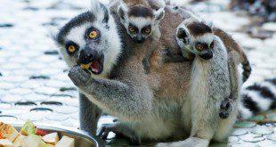 Katta-Zwillinge im Tierpark Hellabrunn München