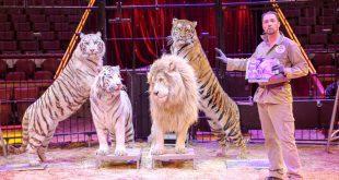 Löwe und Tiger Circus Krone mit Tierlehrer Martin Lacey.