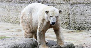 Eisbär Yoghi Tierpark Hellabrunn München