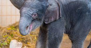 Elefanten-Nachwuchs Otto im Tierpark Hellabrunn München