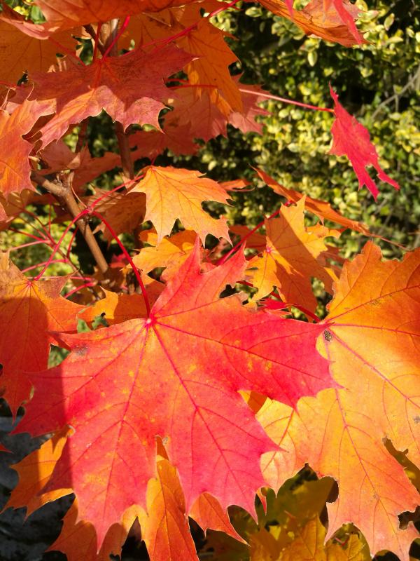 Herfstblad in de achtertuin