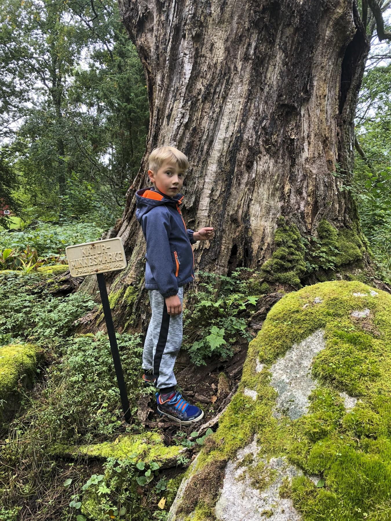 Lerjevallens ældste egetræ