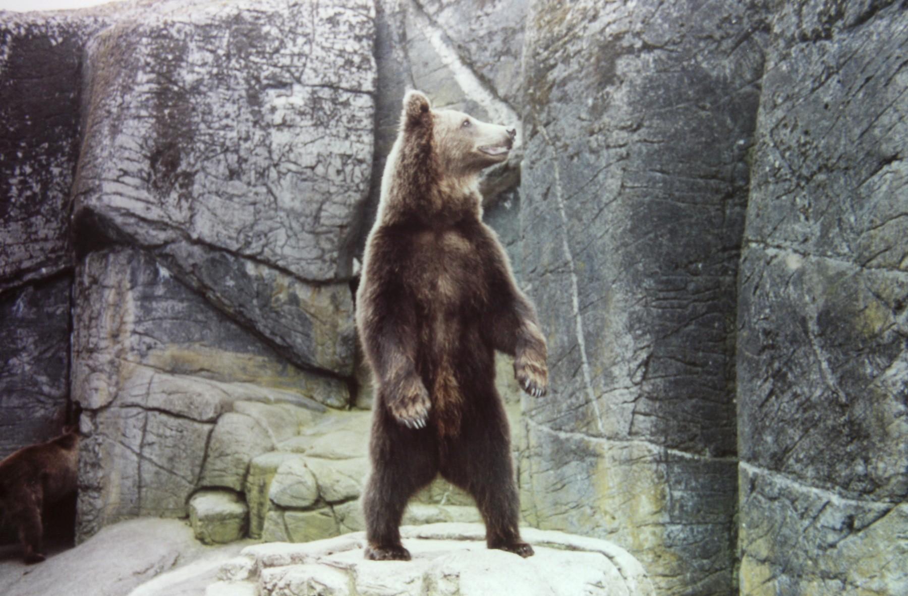 Flot brun bjørn står på bagbenene