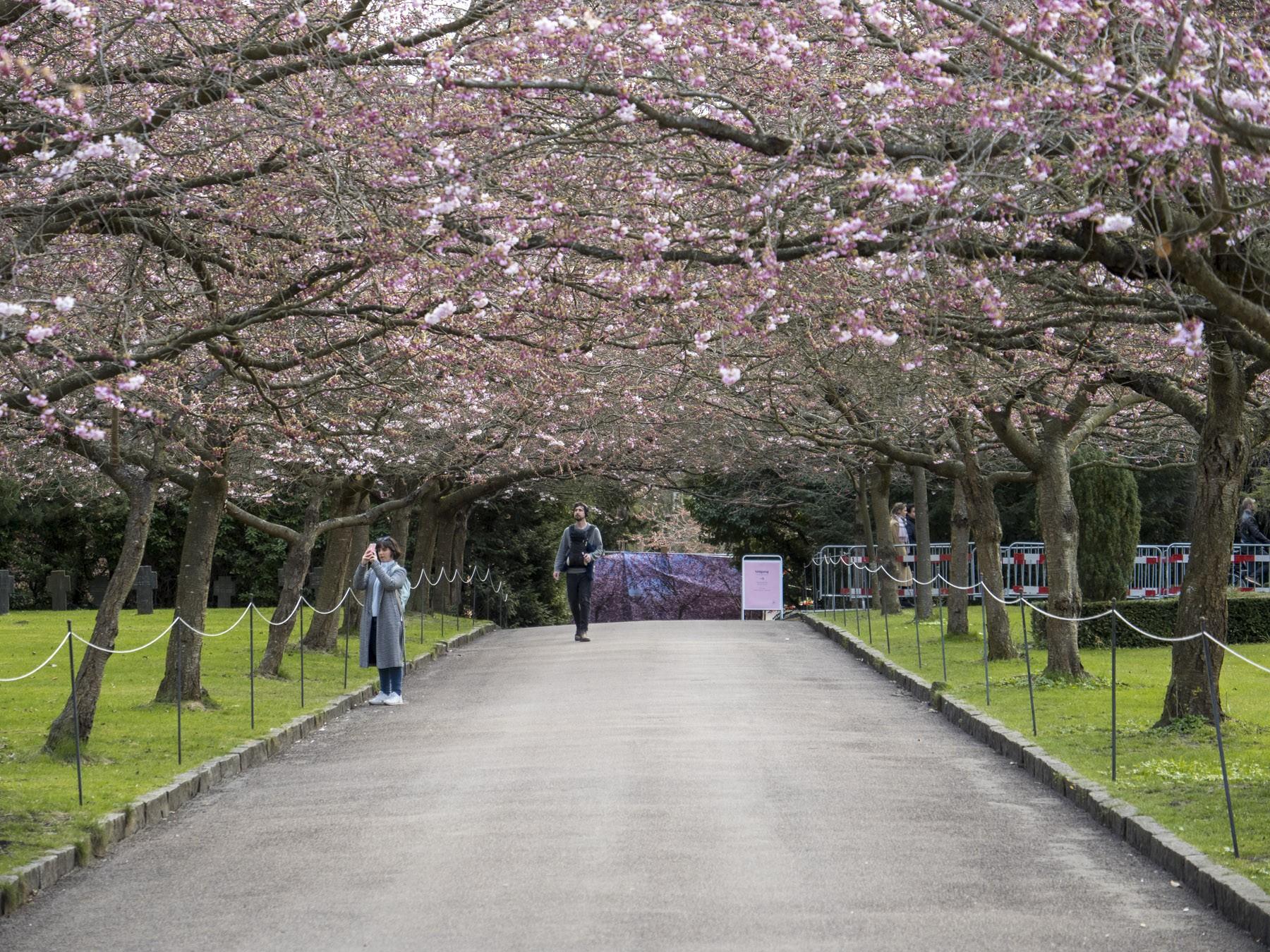 Kirsebærtræerne på Bispebjerg Kirkegård