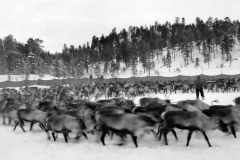 86-Reinslakting-i-Øyingen-1952