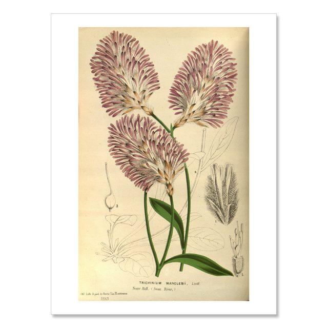 Vintage poster Trichinium-Manglesii