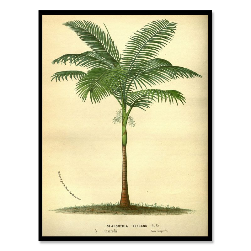 Vintage palm tree from the Seychelles 30x40 cm