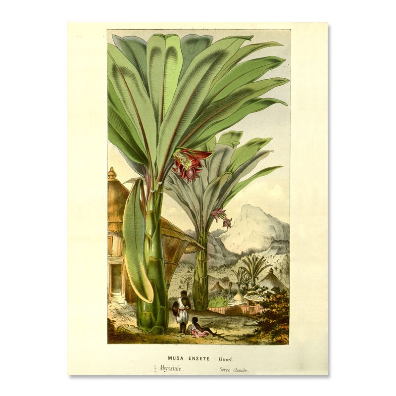 Vintage tall palmtree bananatree jungle musa ensete no frame