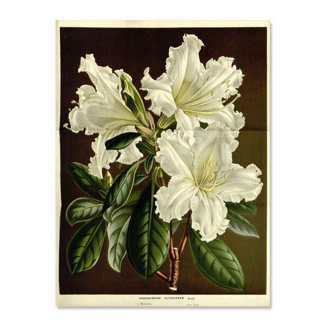 Vintage poster White Rhododendronveitchianum