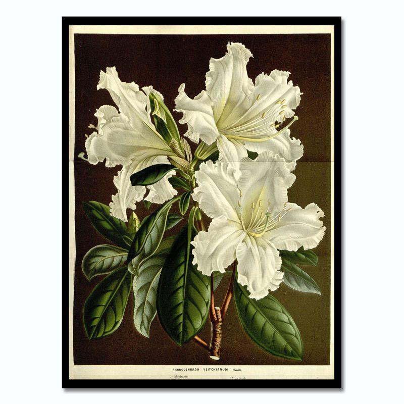 Vintage poster White Rhododendronveitchianum svart ram
