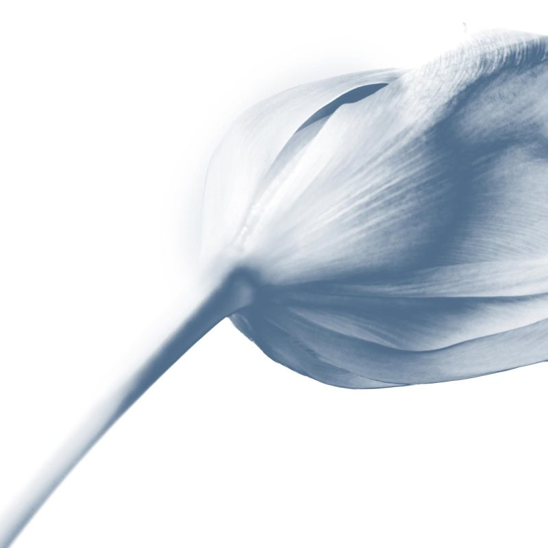 Blå tulpan - Studio Caro-lines