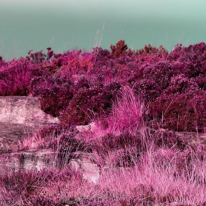 Rosa gräs - Studio Caro-lines