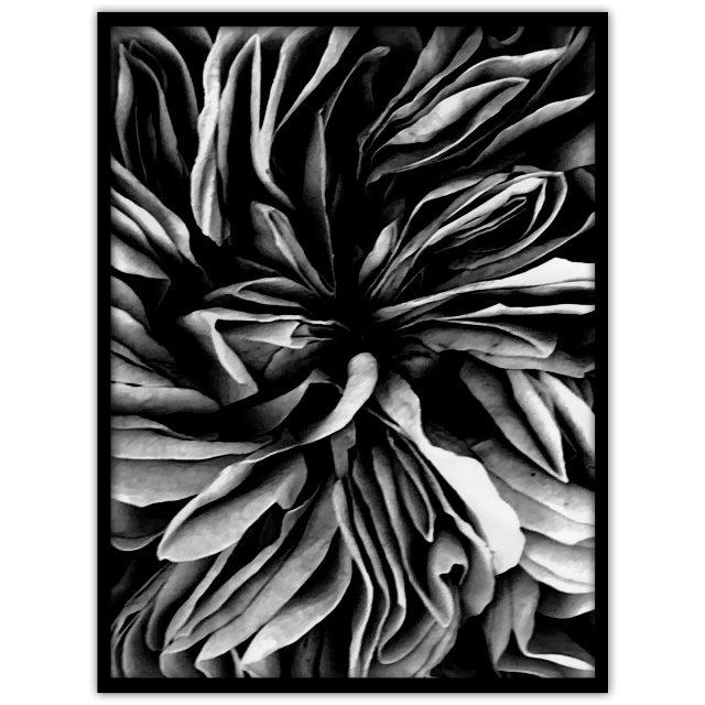 "Poster med ett fotografi av en stor ros: ""Dark rose"""