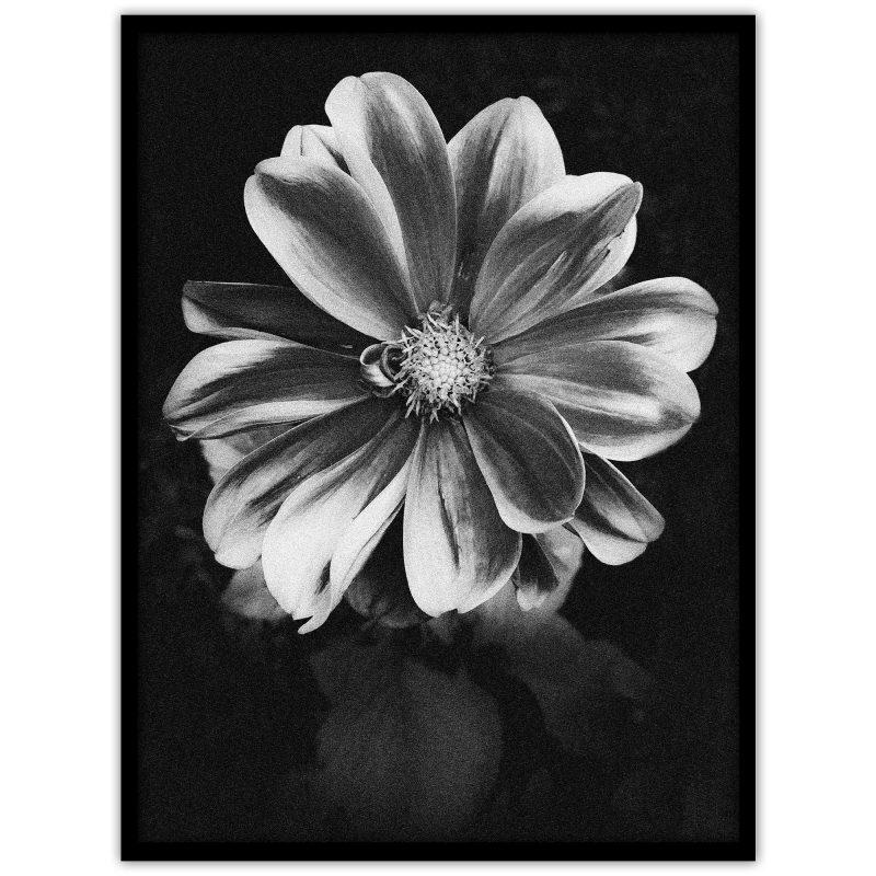 """Poster med ett fotografi av en dahlia: """"Nightflower"""""""